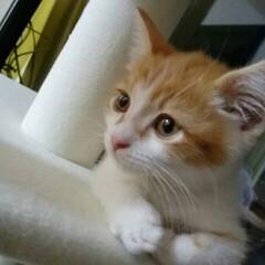 キジ白猫/茶白猫/マンチカン/マンチカン短足/フォロー大歓迎/LIMIAファンクラブ/... ミミはだいぶと仲良しになってきました。 …(2枚目)