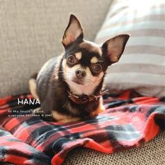 香箱座り/猫みたいな犬/リミアペット同好会/チワワ部/ちわわ大好き/チワワ/... ✿ わが家のワンコ  ✿ HANAちゃん…