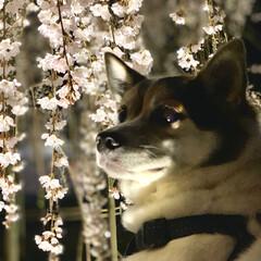 夜桜/平成最後の/LIMIAペット同好会/犬/わんこ同好会/おでかけ/... 枝垂れ桜を見にお散歩 樹齢約370年  …