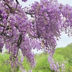 藤の花/GW/おでかけ/風景 甘くて優しい香りが大好き💕 白・桃・紫 …