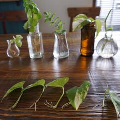 植物のある暮らし/グリーン/ポトス/グリーンのある暮らし/植物/瓶/... 新元号「令和」に決まりましたね! 平和で…