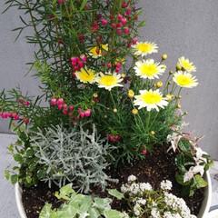 おうち自慢 #花#寄せ植え #spring#ガーテ…