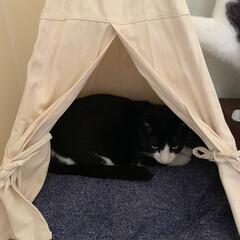 にゃんこ同好会/おやすみショット カインズホームで前から気になってたテント…