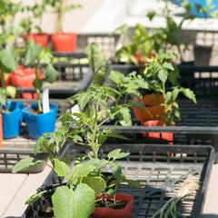 家庭菜園/夏野菜/夏/屋上菜園 夏野菜がグングン育つ季節になりました