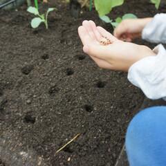 菜園/キャベツ/賃貸 屋上菜園の植付け時 大きなキャベツが収穫…
