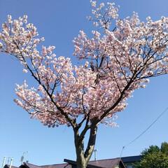 桜満開/春のフォト投稿キャンペーン/令和の一枚 こんばんわ(*^^*)  GWも後一日で…(3枚目)