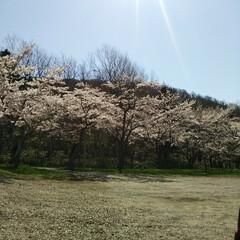 桜満開/春のフォト投稿キャンペーン/令和の一枚 こんばんわ(*^^*)  GWも後一日で…(8枚目)