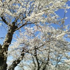 桜満開/春のフォト投稿キャンペーン/令和の一枚 こんばんわ(*^^*)  GWも後一日で…(6枚目)