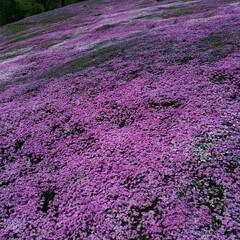 北海道滝ノ上/芝桜/おでかけ 二時間半かけて滝ノ上の芝桜を見に来ました…