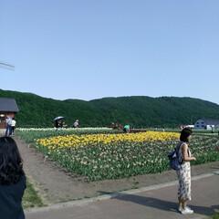 チューリップ🌷/北海道上湧別/おでかけ かみゆうべつ チューリップ公園❗  ここ…(2枚目)