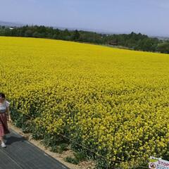 北海道/日本一の菜の花畑/おでかけ こんにちわ(*^^*)  今 北海道はお…