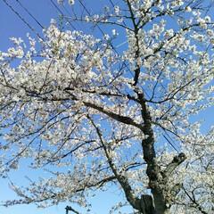 桜満開/春のフォト投稿キャンペーン/令和の一枚 こんばんわ(*^^*)  GWも後一日で…(2枚目)