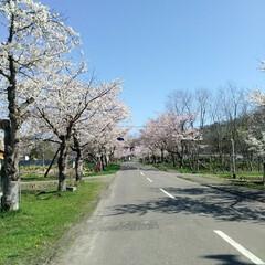 桜満開/春のフォト投稿キャンペーン/令和の一枚 こんばんわ(*^^*)  GWも後一日で…(1枚目)