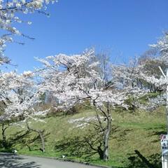 桜満開/春のフォト投稿キャンペーン/令和の一枚 こんばんわ(*^^*)  GWも後一日で…(5枚目)