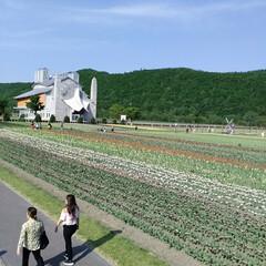 チューリップ🌷/北海道上湧別/おでかけ かみゆうべつ チューリップ公園❗  ここ…(5枚目)