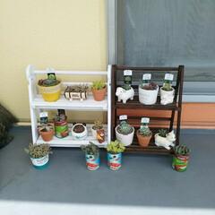 多肉棚/DIY/ダイソー/雑貨/多肉植物  こんばんは😃🌃  買ってあった多肉植物…(2枚目)