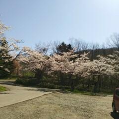 桜満開/春のフォト投稿キャンペーン/令和の一枚 こんばんわ(*^^*)  GWも後一日で…(7枚目)