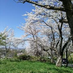 桜満開/春のフォト投稿キャンペーン/令和の一枚 こんばんわ(*^^*)  GWも後一日で…(4枚目)