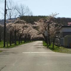 桜満開/春のフォト投稿キャンペーン/令和の一枚 こんばんわ(*^^*)  GWも後一日で…(9枚目)