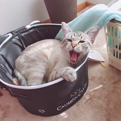 ネコ/猫/日向ぼっこ/お昼寝/あくび/キャリーバッグ/... 日向ぼっこして、 あくびして、 うーん……