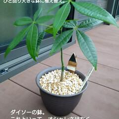 ウッドデッキ/ダイソー/セリア/DIY/多肉植物/観葉植物 3ヶ月前にダイソーで買って大きくなったパ…(2枚目)