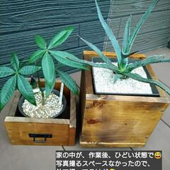 ウッドデッキ/ダイソー/セリア/DIY/多肉植物/観葉植物 3ヶ月前にダイソーで買って大きくなったパ…(10枚目)