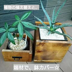 ウッドデッキ/ダイソー/セリア/DIY/多肉植物/観葉植物 3ヶ月前にダイソーで買って大きくなったパ…(1枚目)