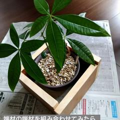 ウッドデッキ/ダイソー/セリア/DIY/多肉植物/観葉植物 3ヶ月前にダイソーで買って大きくなったパ…(8枚目)