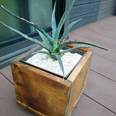 ウッドデッキ/ダイソー/セリア/DIY/多肉植物/観葉植物 3ヶ月前にダイソーで買って大きくなったパ…(7枚目)