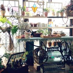 多肉植物/アイビー蔓で籠を編む/ドライフラー/アフターガーデニング/ガラスケース/ミシン台/... サンルームに作った棚。 アンティークステ…