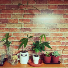 お家時間/家づくり/棚作り/棚DIY/リメイクシートで大変身/セリア/... 旦那さん作の棚。 多肉植物たちは 冬は玄…