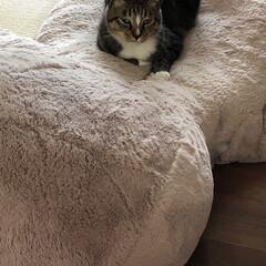 テディベア/巨大ぬいぐるみ/ペット/猫/インテリア 我が家にはコストコのテディベアに憧れて買…
