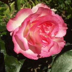 ガーデン 我が家のストロベリーアイス 一番好きな薔…
