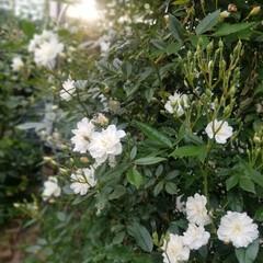 散歩/ガーデン/風景/暮らし 夕暮れ…スノーグース