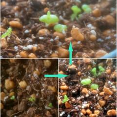 """モニラリア/うさ耳/多肉植物のある暮らし 9月4日に植えた""""うさ耳モニラニア"""" ち…"""