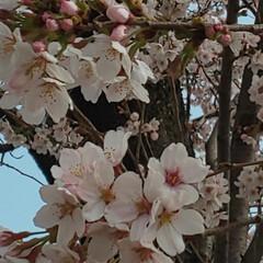 さくらの日/桜スイーツ/開花/さくら 今日は大好きな 『 桜の日 』🌸なんです…(2枚目)