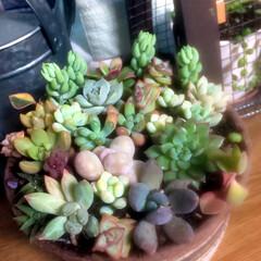 多肉植物のある暮らし 12月になりフロントガラスが 凍るように…