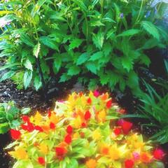 花のある暮らし 庭の花 色々 🌼*・🌼*・      (1枚目)