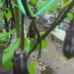家庭菜園/なす 同じ🍆の苗かと思っていたら 違ってました…