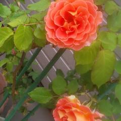 バラ/カボチャ/家庭菜園 カボチャの花と薔薇  カボチャの花って大…