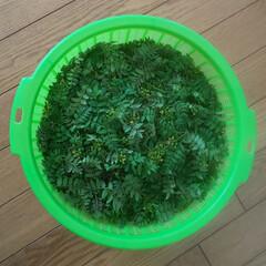 おにぎり/山椒/おうちごはん/暮らし 今年も庭の山椒がが取れました 毎年楽しみ…