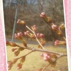 さくらの日/桜スイーツ/開花/さくら 今日は大好きな 『 桜の日 』🌸なんです…(1枚目)