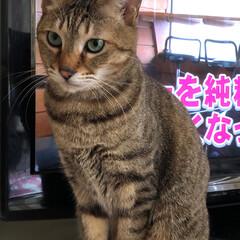 猫/うちの子ベストショット 一番やんちゃなシャー坊 目がヤンキーw