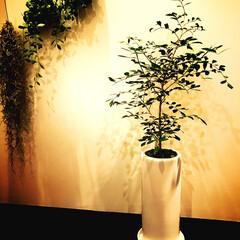 観葉植物 ゲッキツ