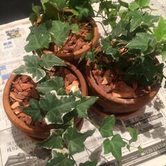 観葉植物 アイビーを株分け。爆育するのは嬉しい😃
