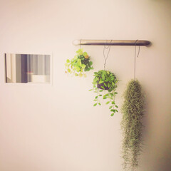 観葉植物 ディスキディアとウスネオイデス(?)。吊…