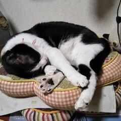 猫のいる暮らし/はちわれ猫/白猫/暮らし 今日も1日お疲れ様でしたにゃ。 明日も頑…(2枚目)