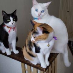 三毛猫/ハチワレ猫/白猫/LIMIAペット同好会/にゃんこ同好会 3にゃんず、長女猫はどこだ? カメラ目線…