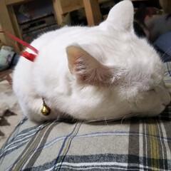 オッドアイ/白猫/LIMIAペット同好会/にゃんこ同好会 向きを換えて寝たゼーット 首輪の🎀引きち…