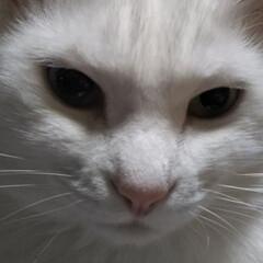 人間ベッド/白猫/オッドアイの猫/リミアの冬暮らし お母さんの足の上から 失礼するにゃん🐱 …